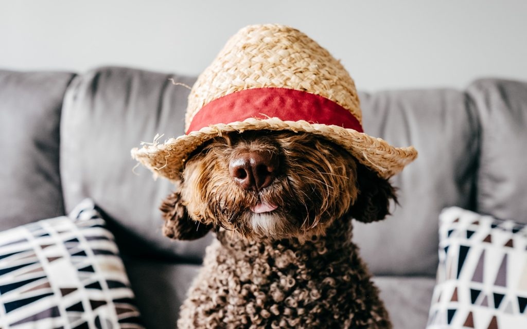 Poodle Dog wearing a hat