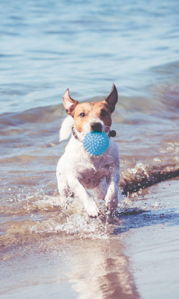 Happy Jack Russell Terrier playing with toy ball and running through ocean waves