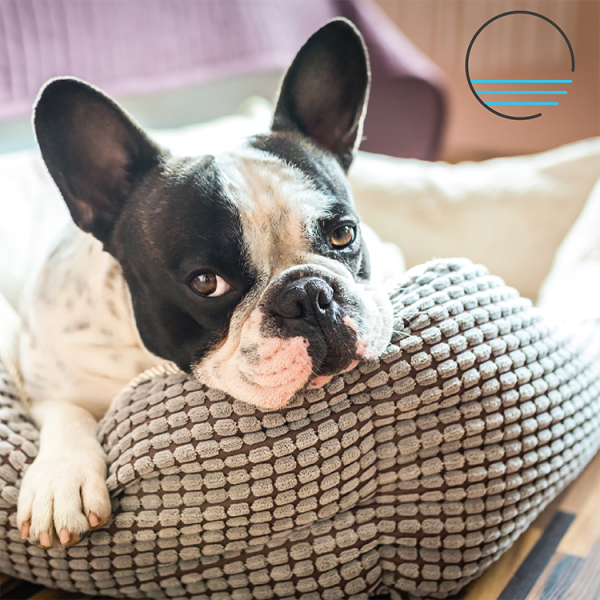 Black and white french bulldog leaning on a pillow.