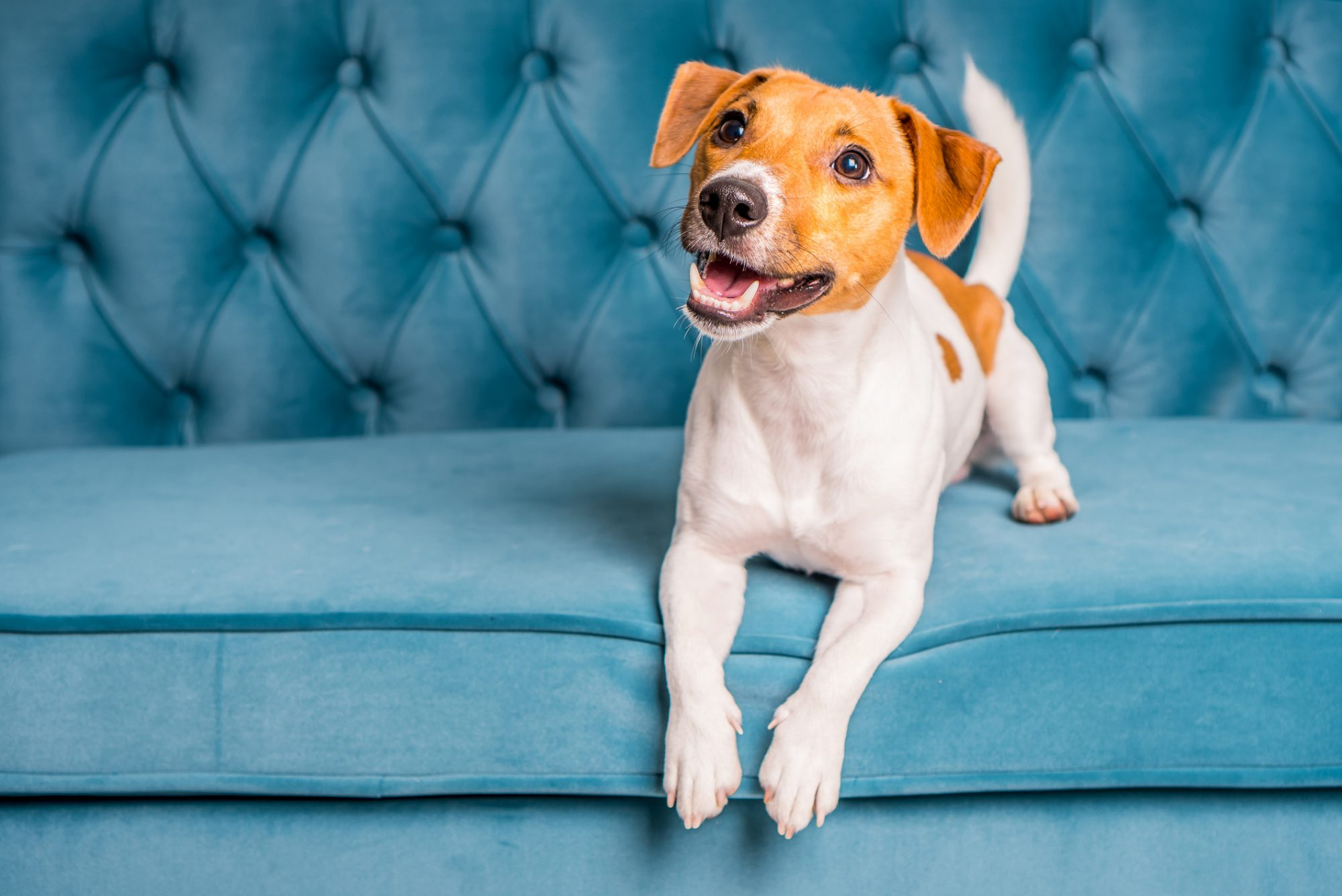 Happy puppy sitting on tufted couch in apartment home