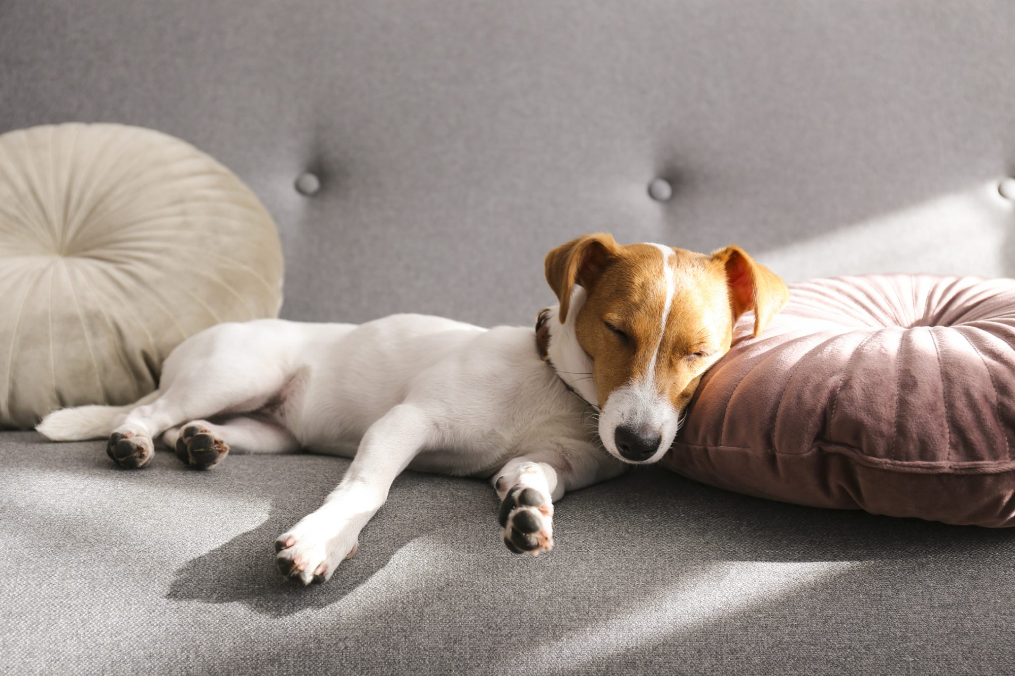 Puppy asleep on couch next to circular cushions in apartment home