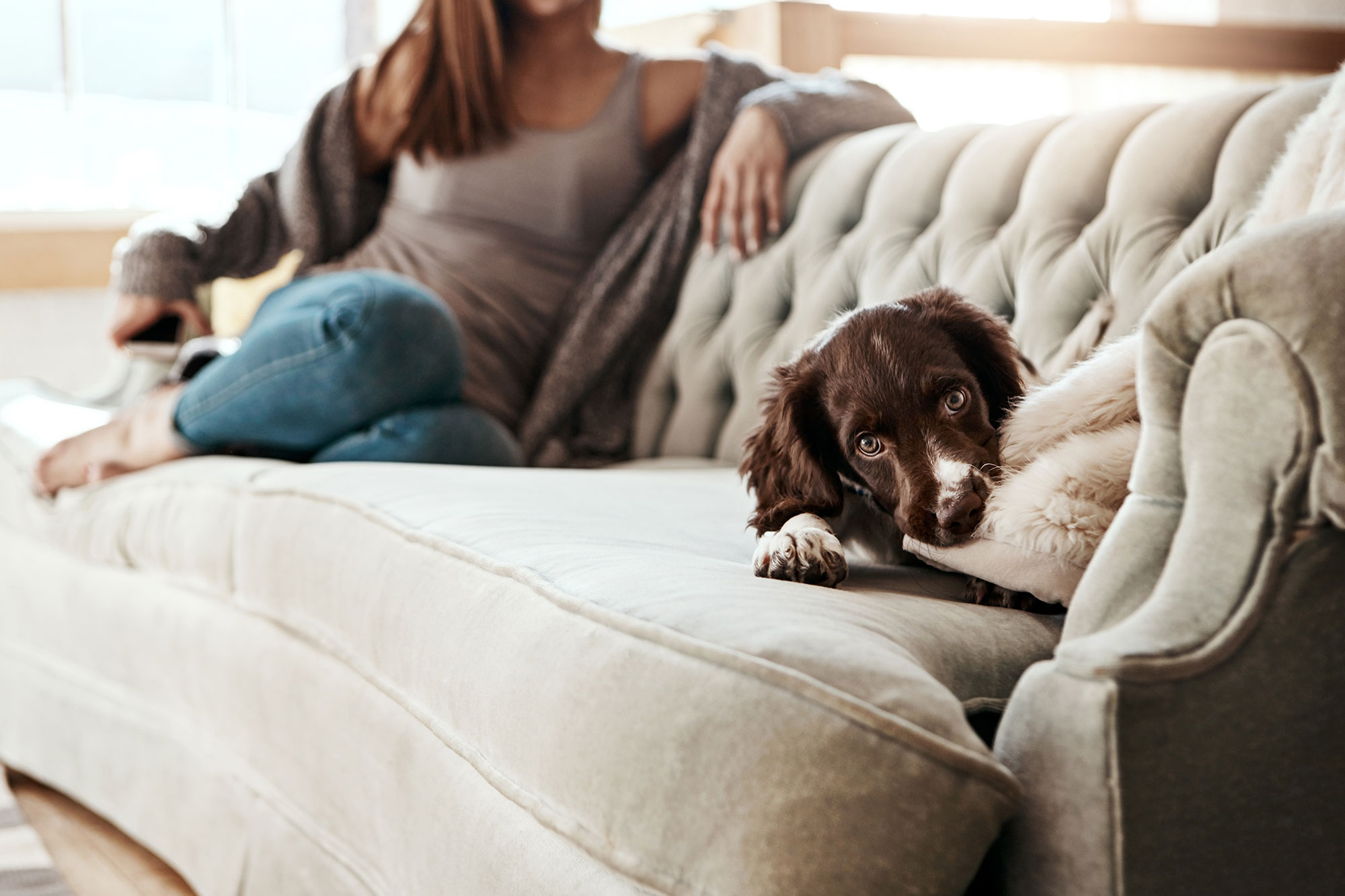 Spaniel puppy playing with a pillow on a couch at home with female owner in the background